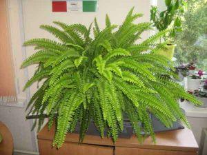 Комнатные растения, которые очищают воздух: папоротник