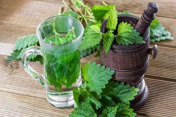 Чай из крапивы — бесценный источник здоровья