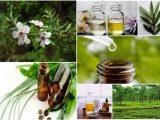 Масло чайного дерева: свойства, применение